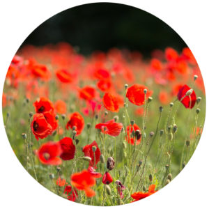 red poppies growing guide