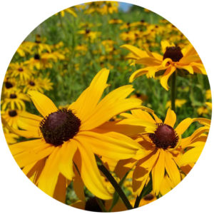 rudbeckia demonstrating photoperiodism